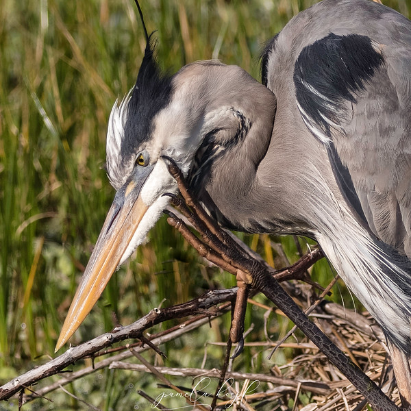 Great Blue Heron<br /> Polk county, FL<br /> Circle B Bar Reserve