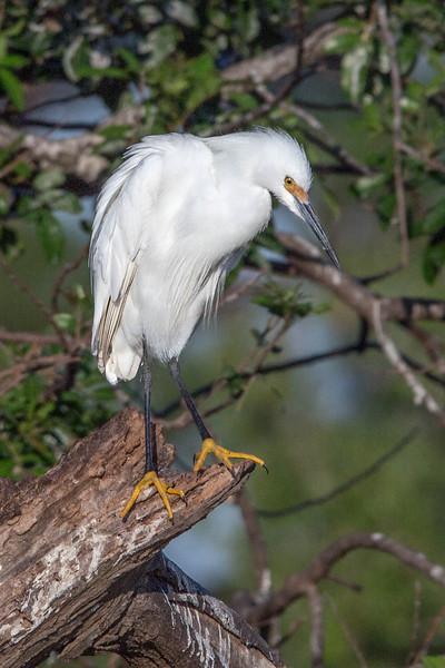 Snowy Egret<br /> Location:  Pinckney Island NWR,  SC