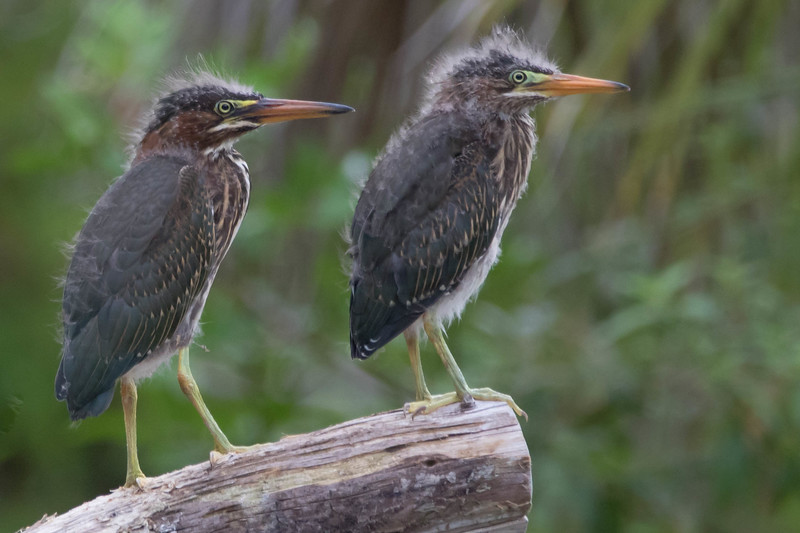 Green Heron, juveniles<br /> Location: Sarasota county, FL