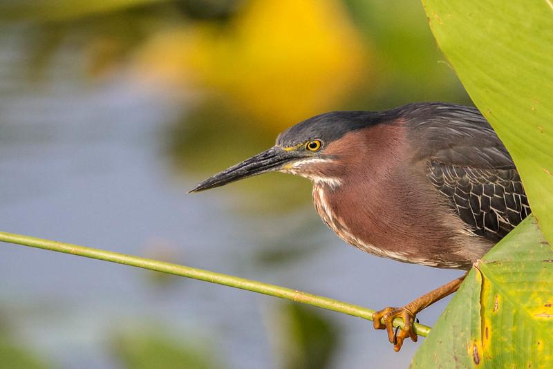 Green Heron<br /> Location: Sarasota county, FL
