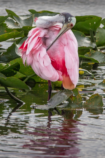 Roseate Spoonbill<br /> Location: Sarasota county, FL
