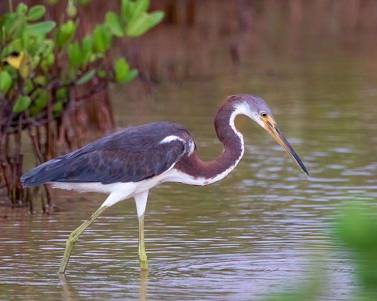 Tri-color Heron<br /> Lone Key State Park - Lone Key, FL<br /> Monroe county