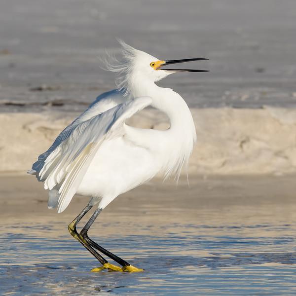 Snowy Egret<br /> Sarasota county, FL<br /> Siesta Key Beach