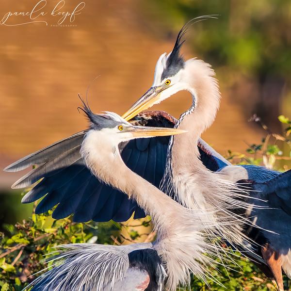 Great Blue Heron<br /> Sarasota county, FL<br /> Venice Rookery
