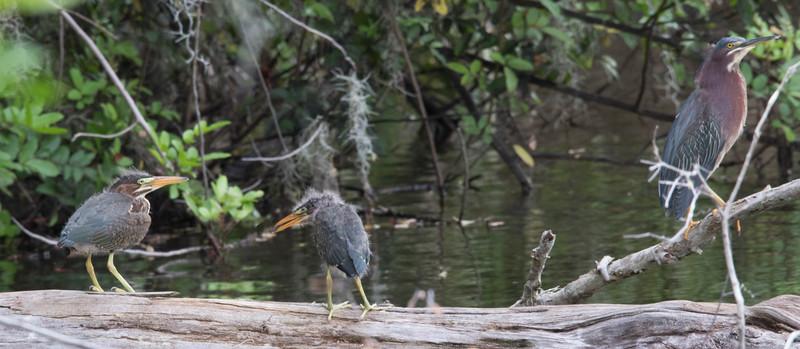 Green Herons (juveniles)<br /> Location: Sarasota county, FL