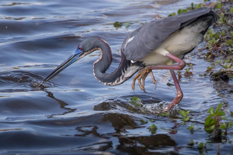 Tri-colored Heron<br /> Location: Sarasota county, FL