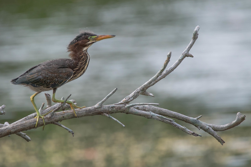 Green Heron (juvenile)<br /> Location: Sarasota county, FL
