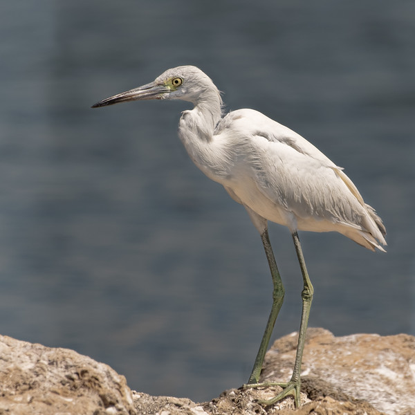 Little Blue Heron juvenile<br /> Sarasota county, FL<br /> Robert's Bay Rookery Island