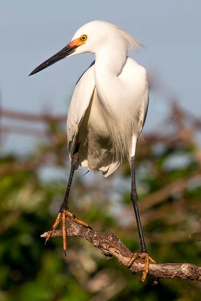 Snowy Egret<br /> Location: Sarasota county, FL