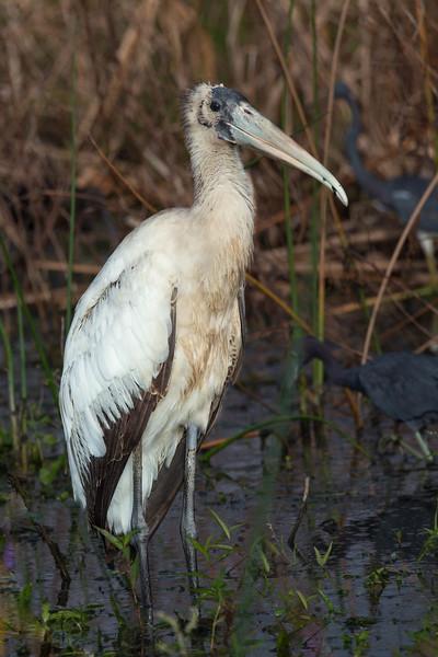 Wood Stork<br /> Location: Sarasota county, FL