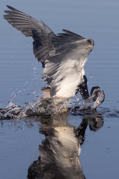 Tri-colored Heron<br /> Location:  Polk county