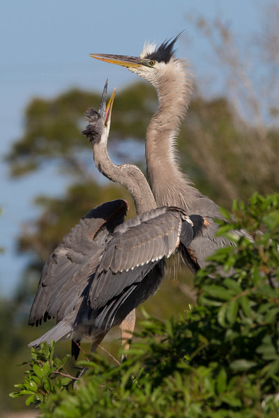 Great Blue Heron with chick<br /> Location: Sarasota county, FL