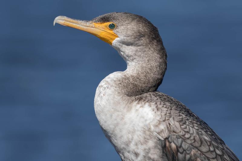 Double-crested Cormorant<br /> Location: Polk county, FL
