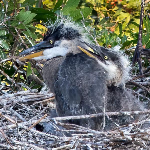 Great-blue Heron chicks<br /> Sarasota county, FL<br /> Venice Rookery