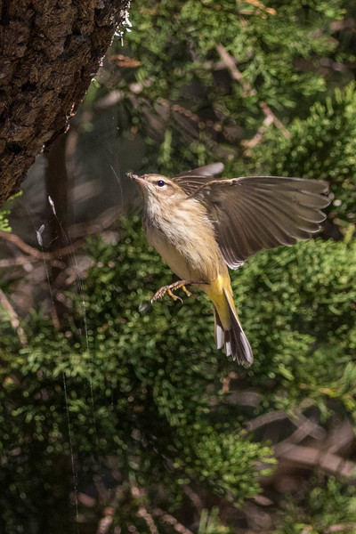 Palm Warbler<br /> Location:  Dare county,  NC