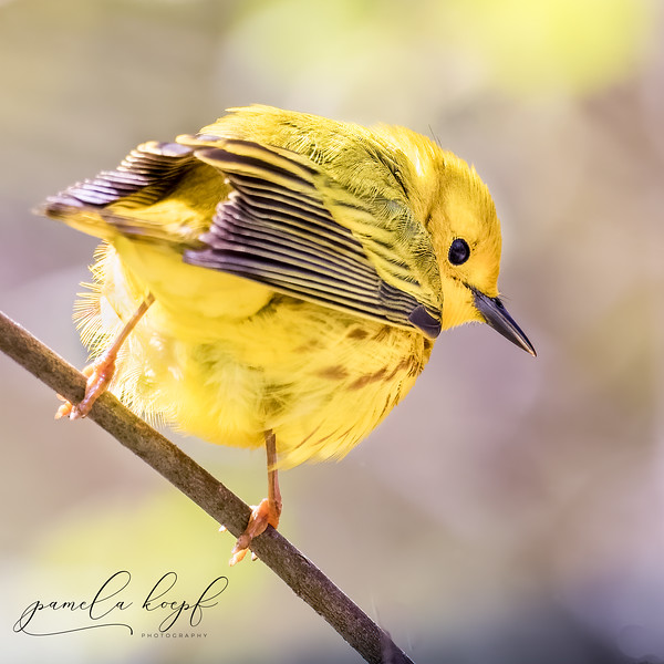 Yellow Warbler<br /> Ontario Canada<br /> Point Pelee National Park