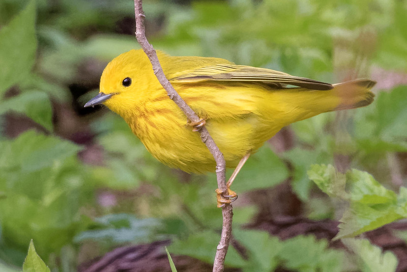 Yellow Warbler<br /> Location: Point Pelee National Park, Ontario, Canada