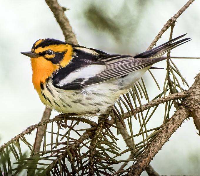 Blackburnian Warbler<br /> Oakland county, MI<br /> Waterford