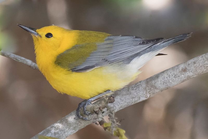Prothonotary Warbler<br /> Location: Pinellas county, FL