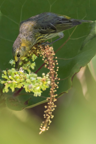 Cape May Warbler<br /> Location:  Pinellas county, FL