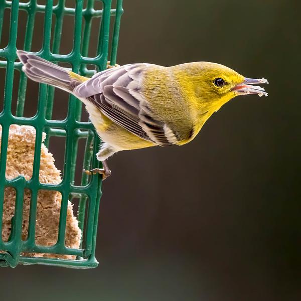 Pine Warbler<br /> Sarasota county, FL<br /> backyard