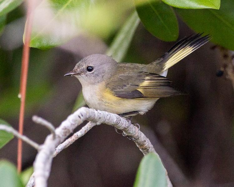 American Redstart (female)<br /> Blue Hole in Key Deer NWR - Big Pine Key, FL<br /> Monroe County