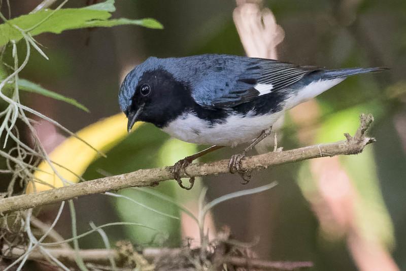 Black-throated Blue Warbler<br /> Location: Sarasota county, FL
