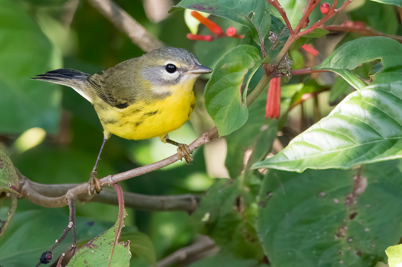 Prairie Warbler<br /> Sarasota county, FL<br /> Celery FIelds