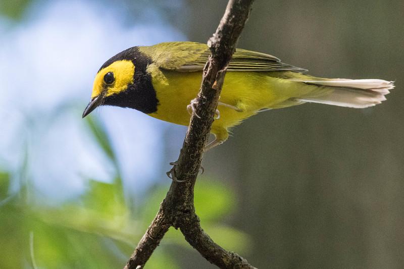 Hooded Warbler<br /> Location:  Sarasota county, FL