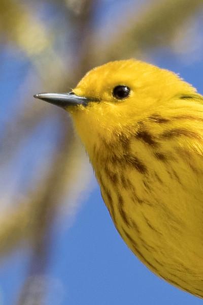 Yellow Warbler<br /> Location: Magee Marsh , Ohio