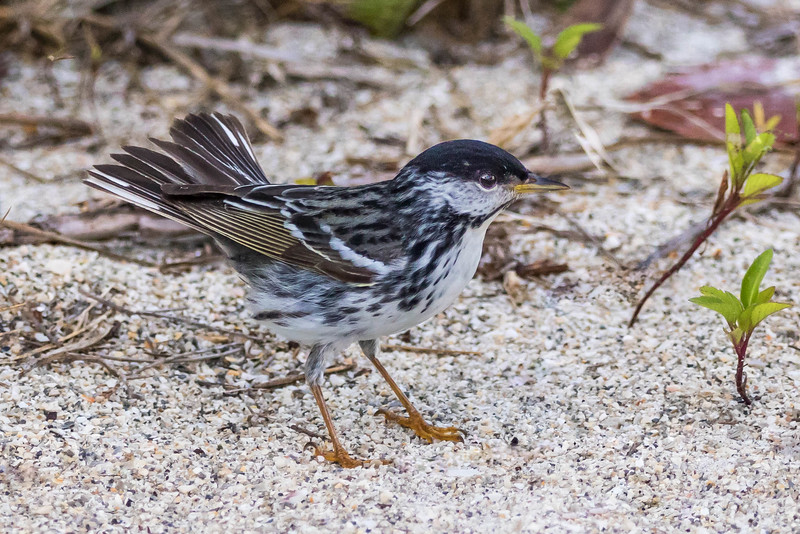Blackpoll Warbler<br /> Location:  Pinellas county, FL