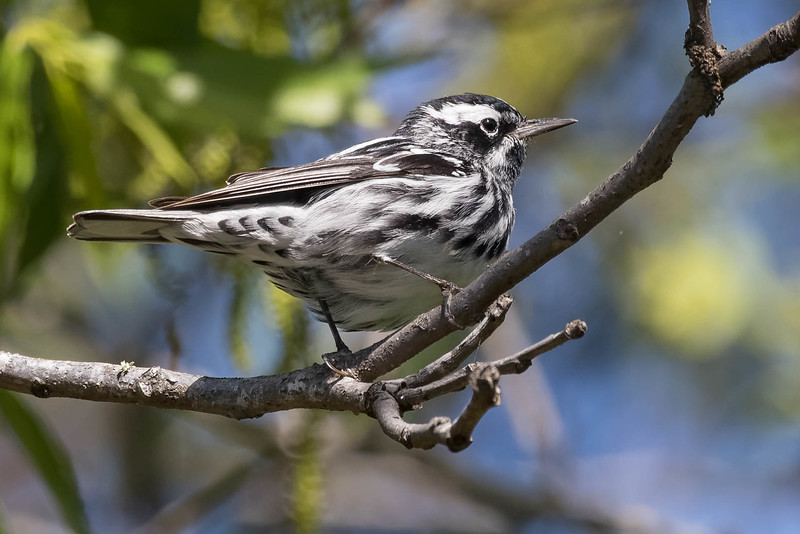 Black and White Warbler<br /> Location: Pinellas county, FL