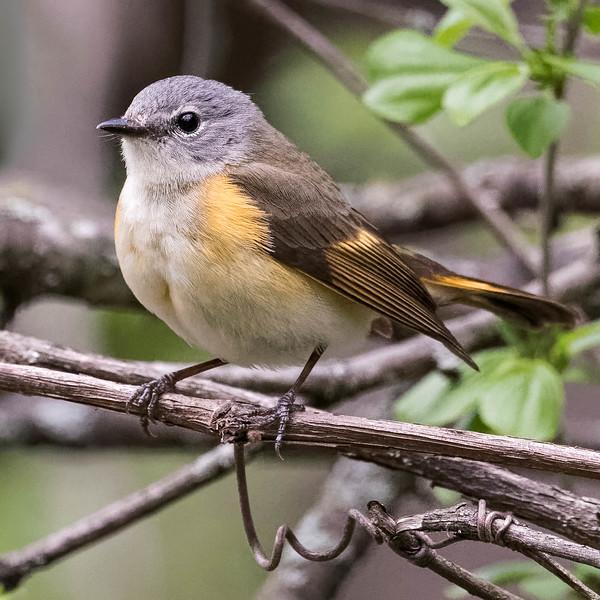 American Redstart (female)<br /> Location: Michigan