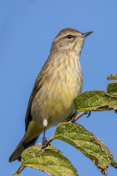 Palm Warbler<br /> Location:  Sarasota county, FL