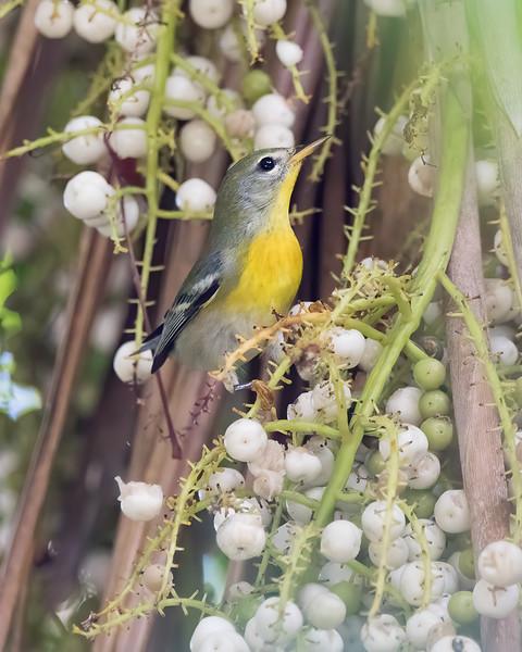 Northern Parula<br /> Key West Tropical Forest & Botanical Garden - Key West, FL<br /> Monroe county