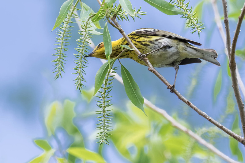 Cape May Warbler<br /> Location: Magee Marsh, Ohio