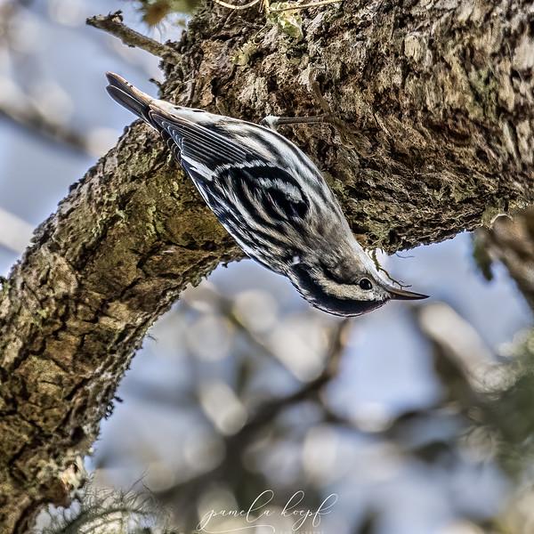 Black and White Warbler<br /> Sarasota county, FL<br /> Red Bug Slough