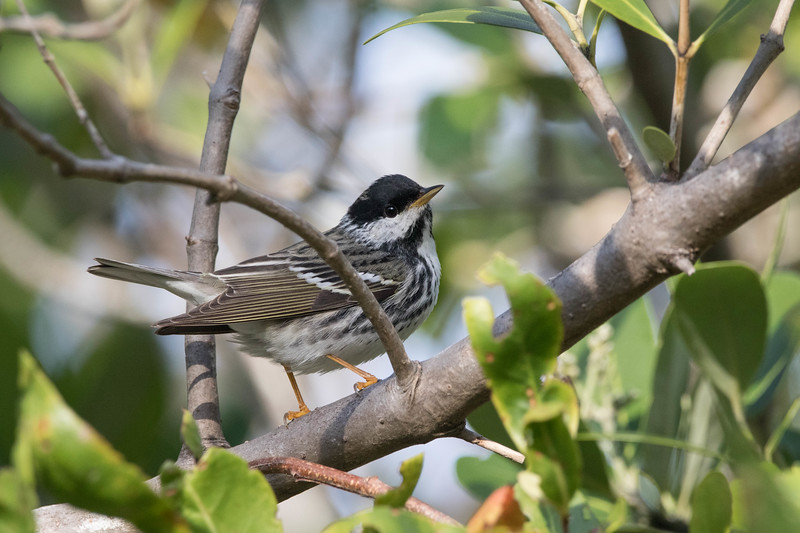 Blackpoll Warbler<br /> Location: Manatee county, FL