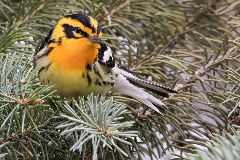 Blackburnian Warbler<br /> Location: Michigan