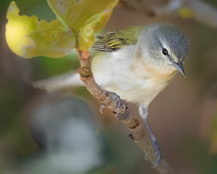 Tennessee Warbler<br /> Location: Pinellas county, FL