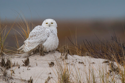 SNOWY OWL - SUFFOLK COUNTY