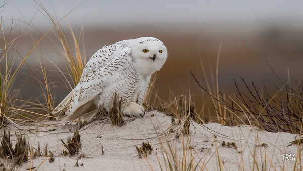 SNOWY OWL - SUFFOLK CTY.