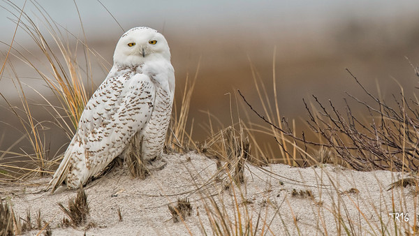 SNOWY OWL - SUFFOLK CTY