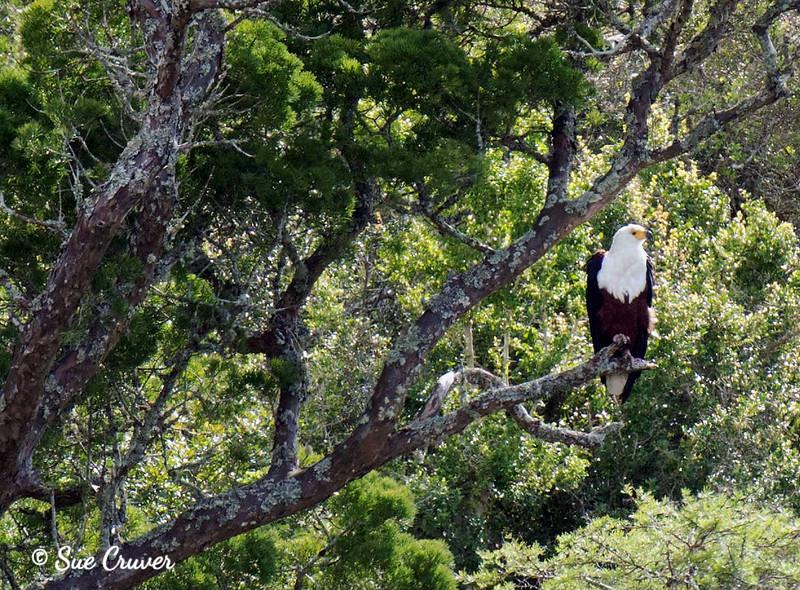 Fish Eagle Waits