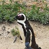 "The ""Jackass"" African Penguin"