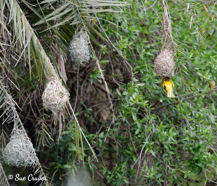 Cape Weaver Checking Nest