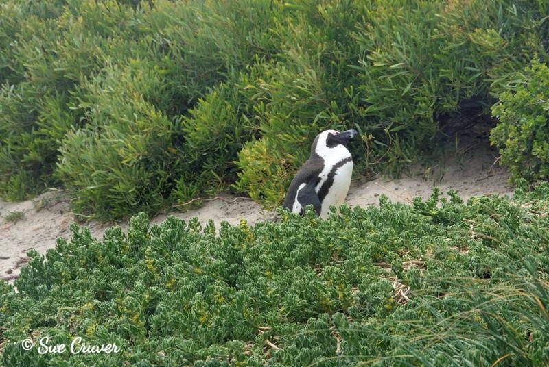 Strolling Penguin