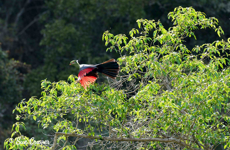 Knysna Lourie (Turaco) in Flight