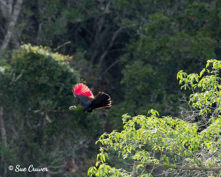 Knysna Lourie (Turaco) Spreading Wings