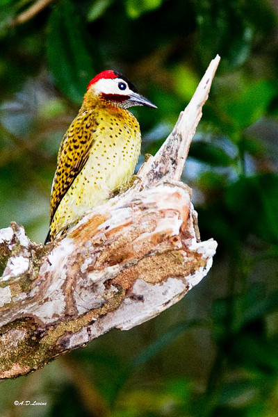 _MG_0764 spot breasted woodpecker
